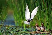 vtáctvo jazera Tisza